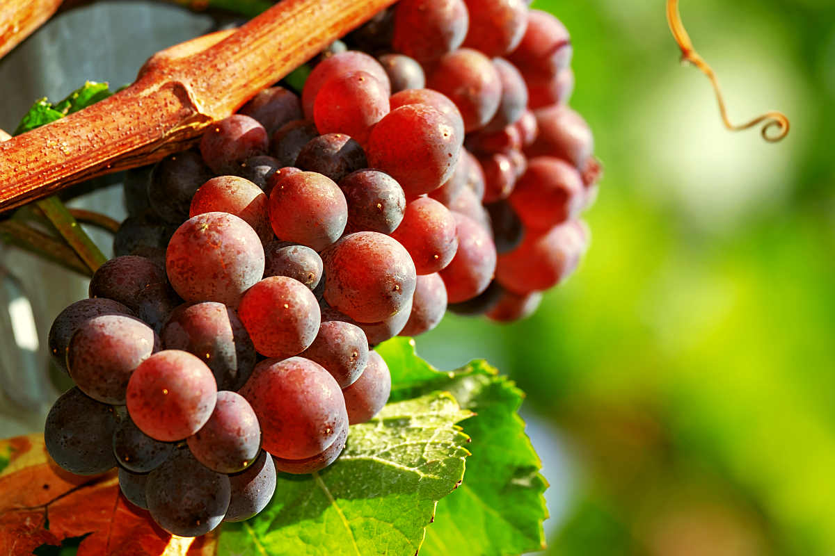 Grapes fruit red ripe sweet | Fruits and Veggies That Can Keep You Hydrated